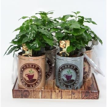 Coffea Arabica in een koffievooraadblik