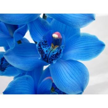 6 blauwe Cymbidium stelen met 9-10 bloemen per steel