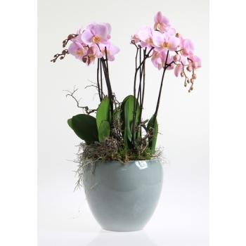 Phalaenopsis arrangement in keramiek Rian ijsblauw