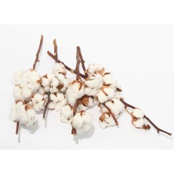 Korte Katoentakken (Gossypium) met 4 bollen per tak