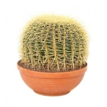 Echinocactus in een plastic campana schaal
