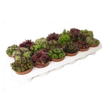 Sempervivum pot 9 cm gemend in een veiling tray