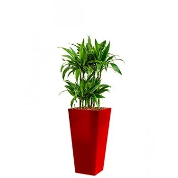 Dracaena Arturo in een kunststof plantenbak Runner