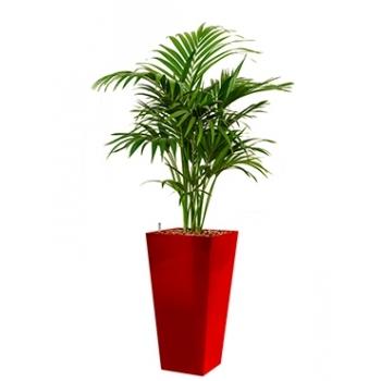 Kentia (Howea) Forsteriana in een kunststof plantenbak