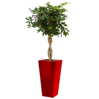 Schefflera Arboricola in een kunststof plantenbak Runner