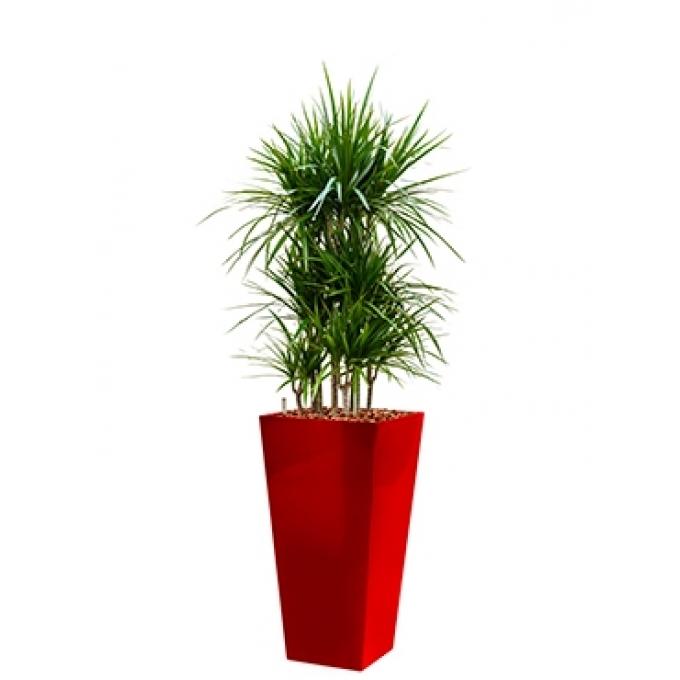 Dracaena Marginata in een kunststof plantenbak Runner