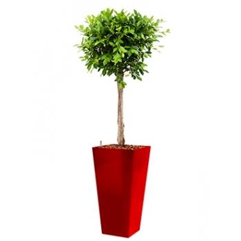 Ficus Nitida in een kunststof plantenbak Runner
