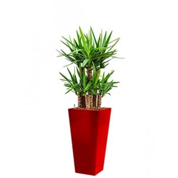 Yucca in een kunststof plantenbak Runner