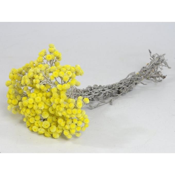 Gedroogde Helichrysum Immortelle
