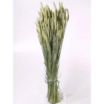 Gedroogde Tarwe (Triticum) naturel