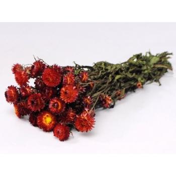 Gedroogde Helichrysum rood