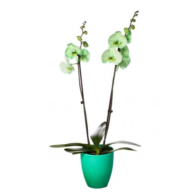 Phalaenopsis Orchidee gekleurd 2 takken in keramiek Change