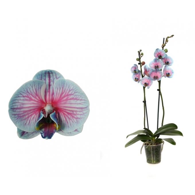 Phalaenopsis Orchidee Bubblegum 2 takken