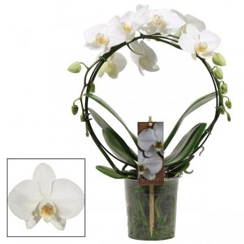 Phalaenopsis wit boogvorm in de teeltpot