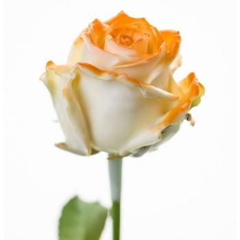 Boeket van grootbloemige wax Rozen wit met oranje blos