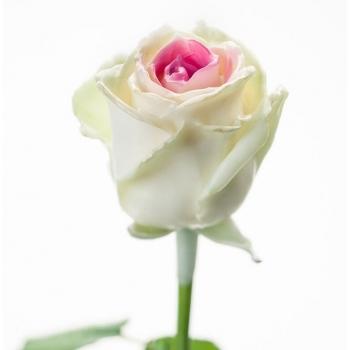 Boeket van grootbloemige wax Rozen wit met roze kern
