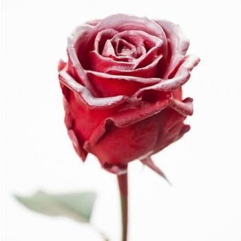 Boeket van grootbloemige wax Rozen rood met blos wit