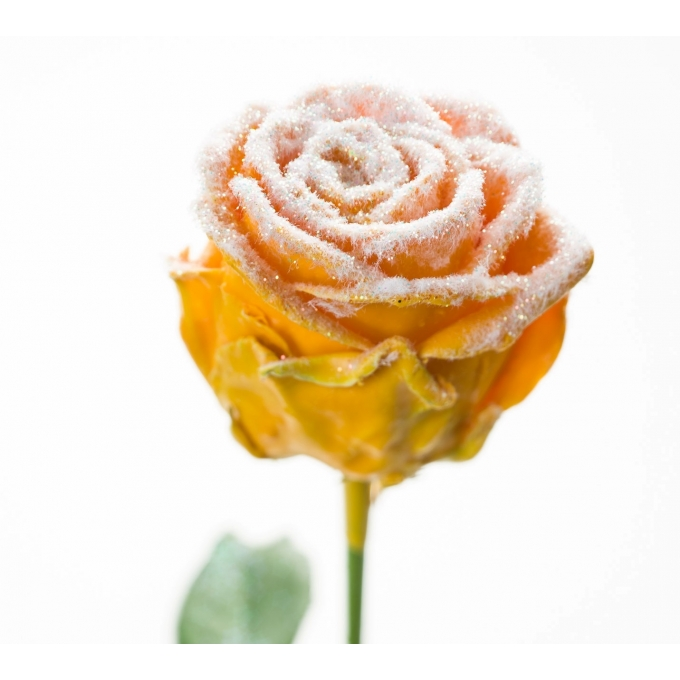 Boeket van grootbloemige wax Rozen oker geel met sneeuw