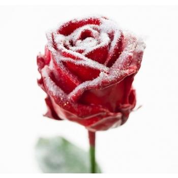 Boeket van grootbloemige wax Rozen rood met sneeuw