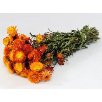 Gedroogde Helichrysum oranje geel
