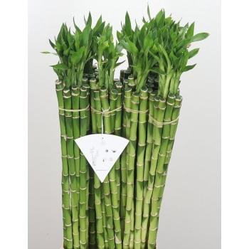 Lucky Bamboe stengels recht