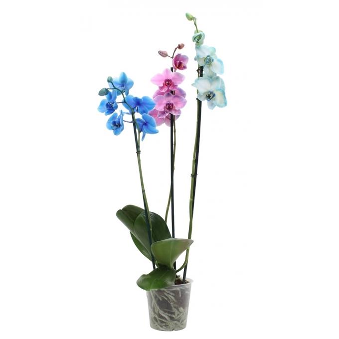 Phalaenopsis Orchidee Carnaval 3 takken