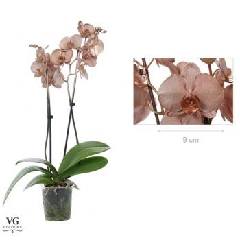 Phalaenopsis Orchidee metallic koper 2 takken
