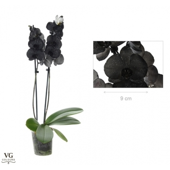 Phalaenopsis Orchidee metallic zwart 2 takken
