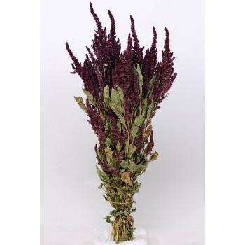 Gedroogde Amaranthus rood