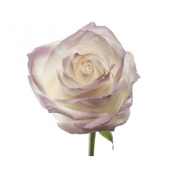 Boeket van witte grootbloemige Rozen met lila blos