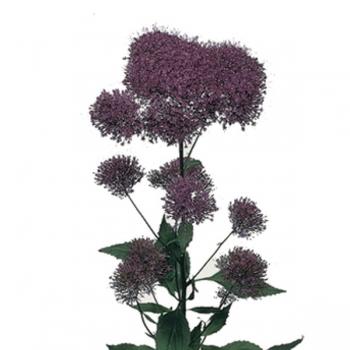 10 Trachelium paars