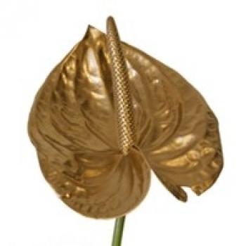 5 goudkleurige Anthurium