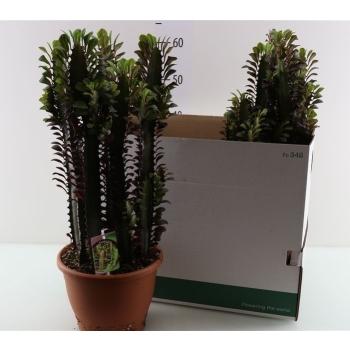 Euphorbia acruensis in plastic terracotta pot