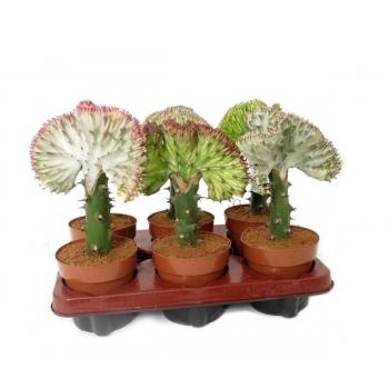 Euphorbia lactea Cristata in de teeltpot