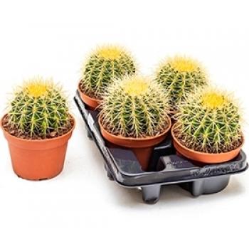 Echinocactus in de teeltpot per 4 Cactussen