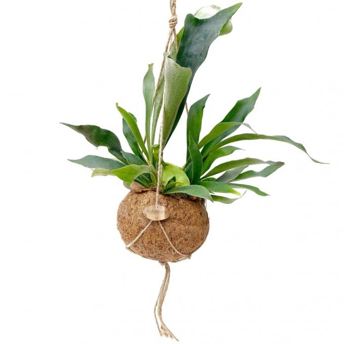 Platycerium in een cocosnoot schaal (hangpot)