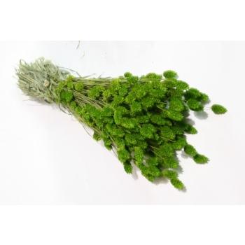 Gedroogde Phalaris gekleurd lente groen