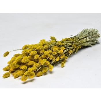 Gedroogde Phalaris gekleurd geel