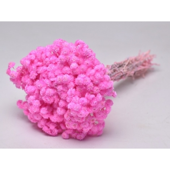 Gedroogde Helichrysum Immortelle roze