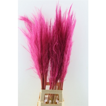 Pampasgras donker roze gedroogd