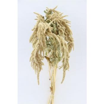 Gedroogde Amaranthus Caudatus green