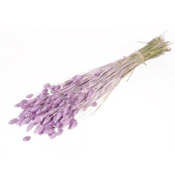 Gedroogde Phalaris misty lilac