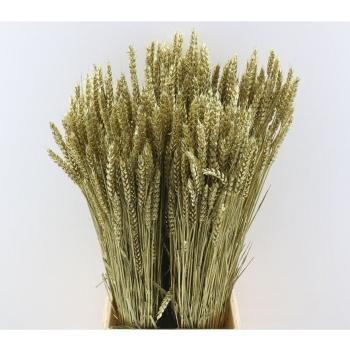 Gedroogde Tarwe goud kleurig