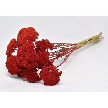 Gedroogde Achillea rood geverfd