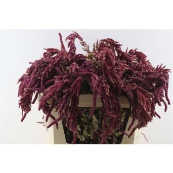 Gedroogde Amaranthus Caudatus rood