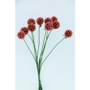 Gedroogde Scabiosa Stellata pink 10 stelen