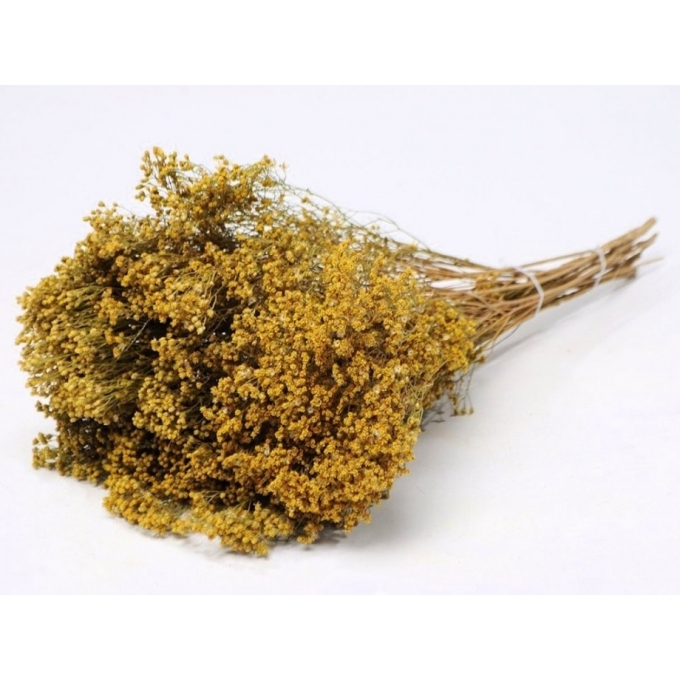 Gedroogde Broom bloom Naturel Geel