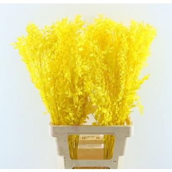 Ruscus geverfd geel