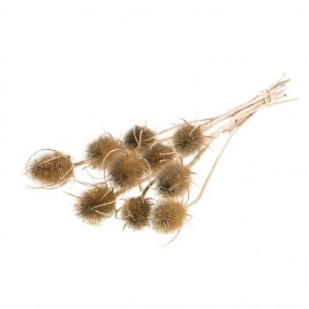 Gedroogde Kardoen Distel naturel bruin