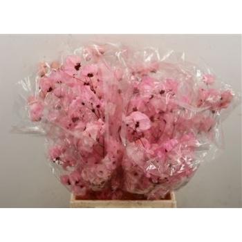 Bougainvillea gebleekt licht roze